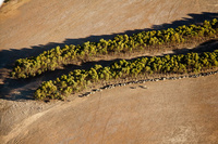 Mallee-trees.-courtesy-of-Cliff-Winfield,-Dept-of-Parks-and-Wildlife-WA_